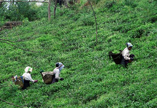 安定品質・安定価格を目指して、よりよい茶葉をより安く