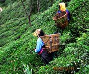インド紅茶の旅日記:【第四回】ダージリン茶畑に到着