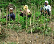 インド紅茶の旅日記:【第六回】茶樹の育苗